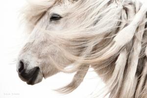 Gigja-Einars-Icelandic-Horses-11