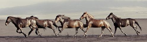 Gigja-Einars-Icelandic-Horses-17