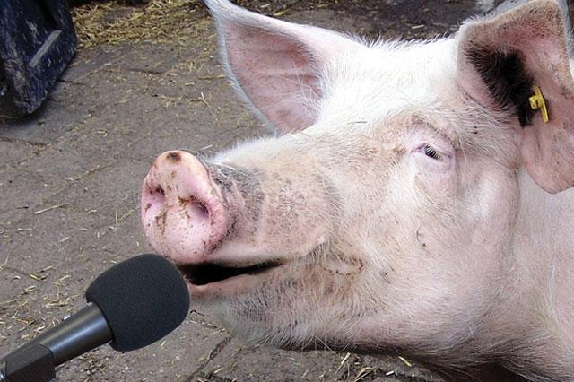 recording-the-pigs-noises